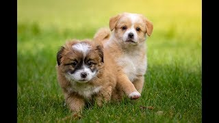 Really Funny and Cutest baby dogs compilation, 2019.