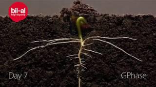 Fasulyenin 25 günlük büyüme süreci