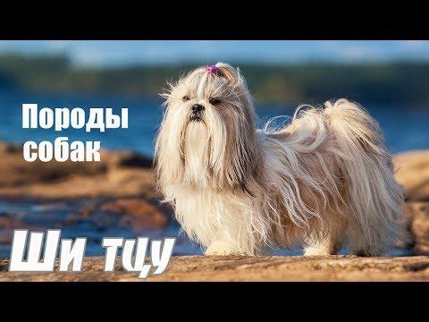 Породы собак. Ши тцу