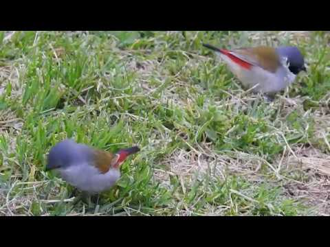 Swee waxbill pair eating grass seeds (no sound)