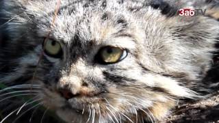 Забайкальцам предлагают придумать имя коту-манулу, спасенному от собак