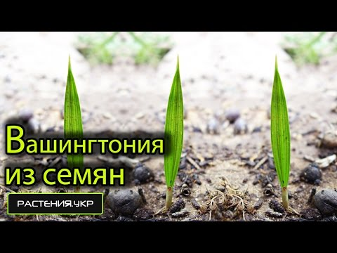 Пальма домашняя / Вашингтония нитчатая из семян