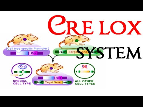 Cre lox recombination system