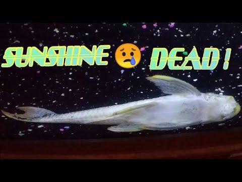 MONSTER FISH DEAD ! 😥 #SAD #SQUADUP #FISHFAM #AQUASCAPE #PLECO