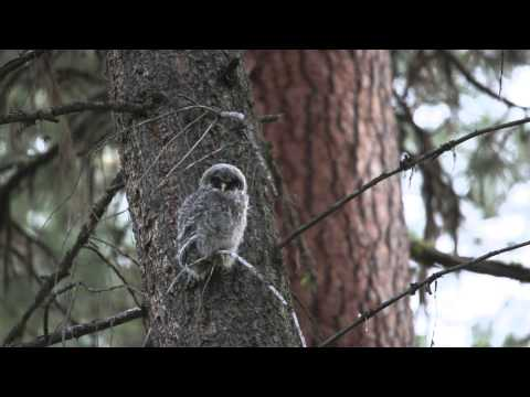 Great Gray owlet calling