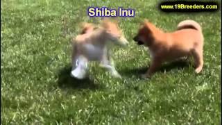 Shiba Inu, Welpen, Für, Verkauf, In, Berlin, Deutschland, Hamburg, München, Köln