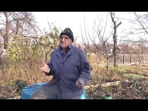 Как посадить орешки лещины. Как посадить лесные орехи