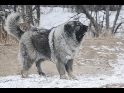 The Magnificent Breed of Caucasian Shepherd Dog (Documentary in HD!!!)