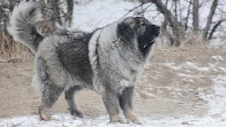 The Magnificent Breed of Caucasian Shepherd Dog (Documentary in HD!!!) thumbnail