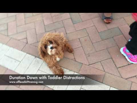 4.5 Months Cavapoo, Ellie! Small Dog Electronic Collar Training | Off Leash K9 Training