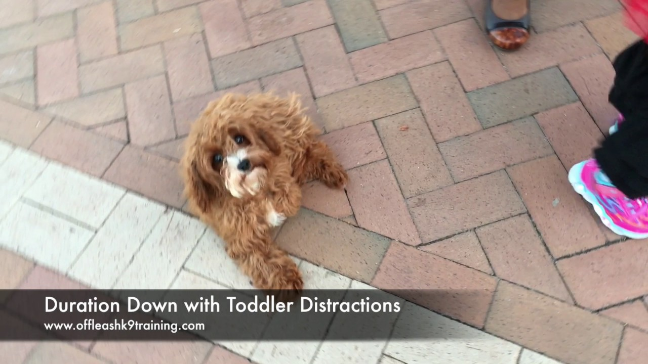 4 5 Months Cavapoo, Ellie! Small Dog Electronic Collar Training | Off Leash  K9 Training