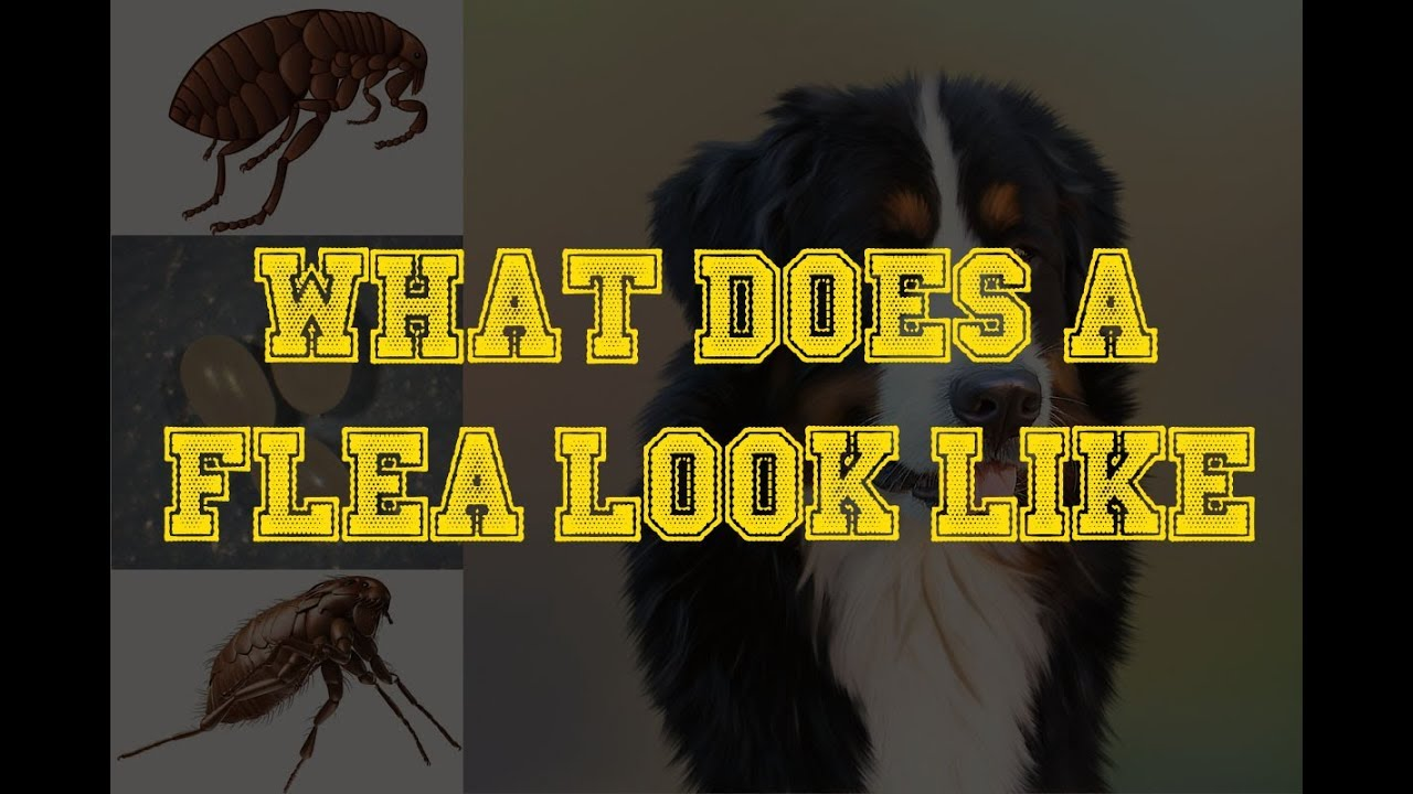 Fleas Look Like On Dogs