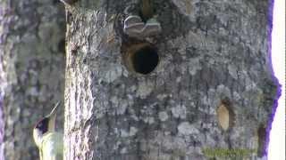 HACKSPETTAR  Woodpeckers  (Picidae)  Klipp - 1010