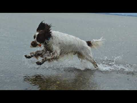 English springer spaniel at the beach in Denmark