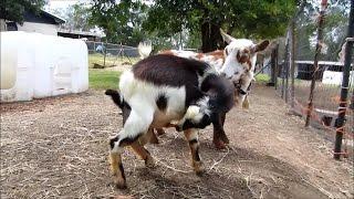 Autofellatio (Oral Self Stimulation) in Male Goats