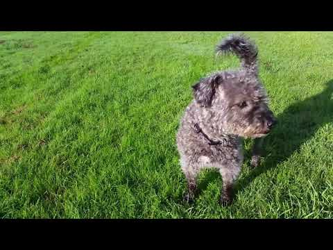 Lakeland Terrier Poodle cross.