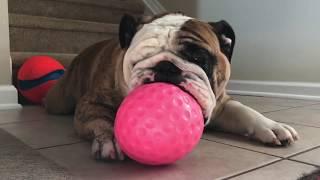 ボールが顔面にめり込んでる!ピンクのボールで遊ぶブルドッグがブサカワいい!!