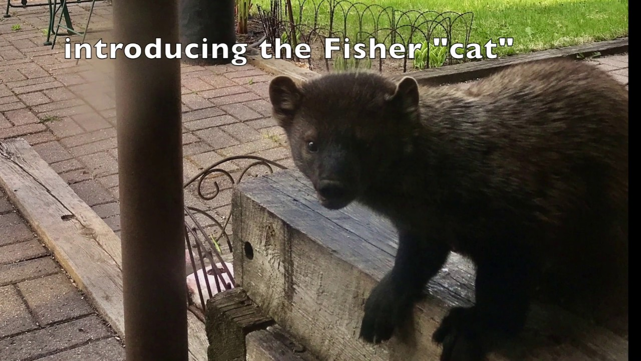 """Fisher """"cat"""" returns to the scene of the crime"""