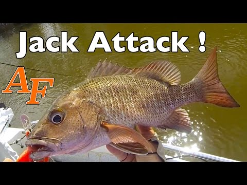 Jack Attack Mangrove Jack Fishing Mangrove Snapper Andy's Fish Video EP.328