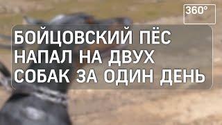 В Балашихе бойцовский пес напал на собак