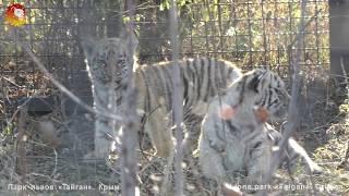 Говорящая тигрица, малыши тигрята и папа тигр. Тайган. little tiger cubs and dad tiger. Taigan.