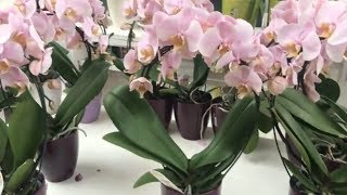 ОБИ.Май 2018.Распродажа саженцев.Цветы ,Орхидеи, Рассада.