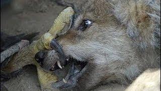 Elang Bagol Besar vs Serigala - Jenis Elang Yang Menakutkan