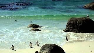 Афрканские пингвины