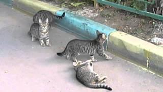 Кошки и шишка.