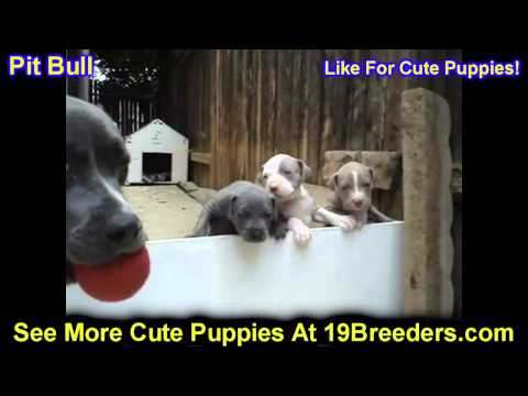 Pitbull, Puppies, For, Sale, In, Oklahoma City, Oklahoma, OK, Warr Acres, Guthrie, Weatherford, Glen