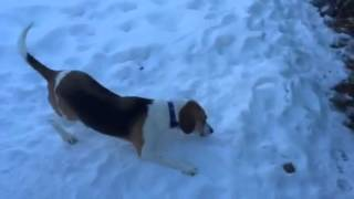 Elvis The Beagle-walker Mix Loves To Eat Snow.