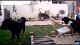 Gaddi Dog Tibetan Mastiff(2)