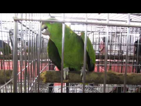amazon parrot whistling