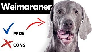 Weimaraner Pros And Cons | The Good AND The Bad!!