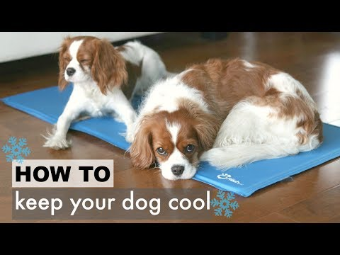 How To: Keep Your Dog Cool in the Summer | Tips for Dogs| Herky the Cavalier Puppy Milton
