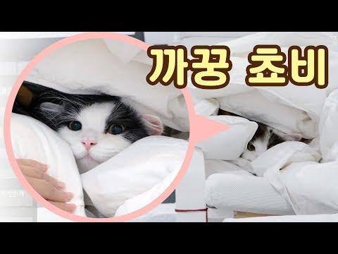 까꿍쵸비! 이불 속 고양이는 위험합니다 feat. 쵸꼬비 부스레기시절 사진