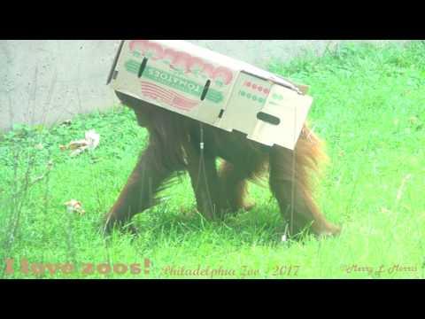 Philadelphia Zoo Orangutans Batu and Tua - They Are Okay ...