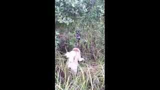 Охота на енота (енотовидная собака) с лайкой. 2 часть, окончание атаки.