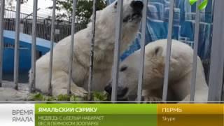 Ямальский Сэрику. Медведь с о. Белый набирает вес в Пермском зоопарке