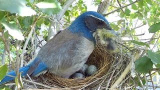Scrub Jay Bites Goldfinch + Nest Activity Highlights 4-14-2015 V17433