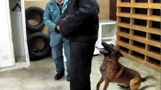 Personal Protection Dogs For Sale ,knpv Titled Belgian Malinois ,dog Training Florida