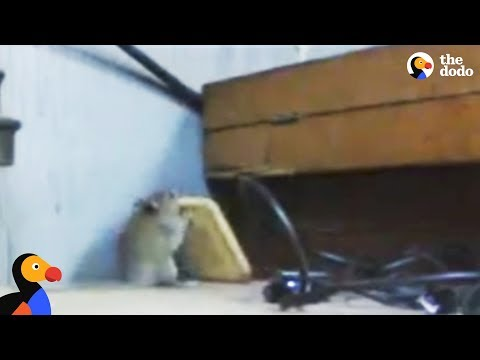 Determined Mouse Steals A Cracker | The Dodo