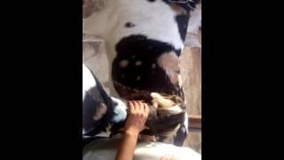 Heavy Rajasthani goat AL-QURESH goat farm 2016....