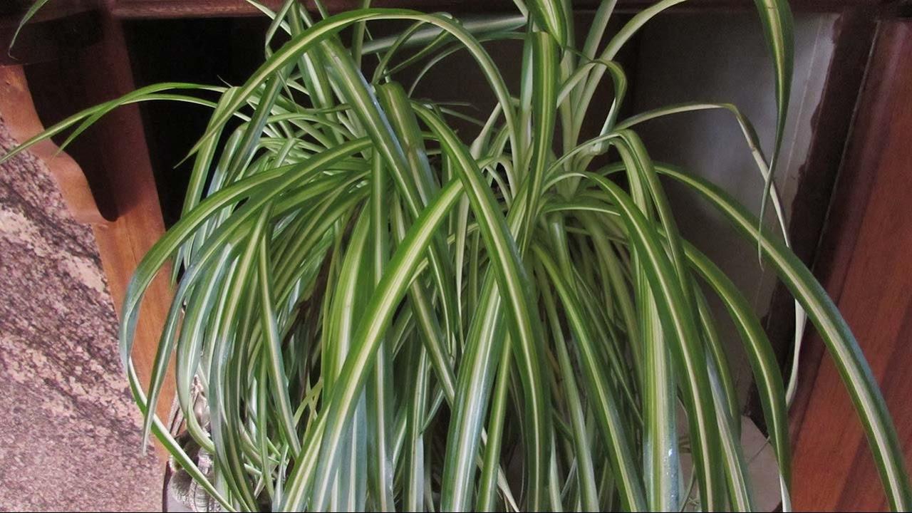 how to care for chlorophytum comosum the spider plant youtube. Black Bedroom Furniture Sets. Home Design Ideas
