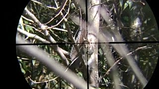 Gray squirrels with air rifle - scope cam