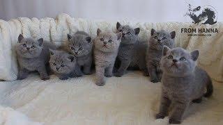 Британские котята / Купить котенка