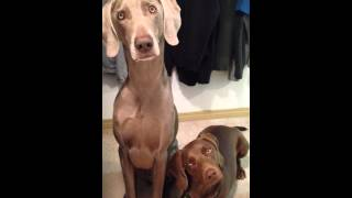 Weimaraner / Beagle Head Tilt Logan And Ernie