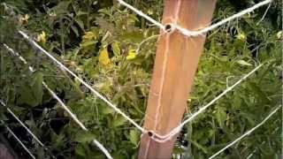 Tomato Cage & Growing Tomatillos