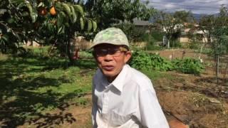 甲州百目柿の今