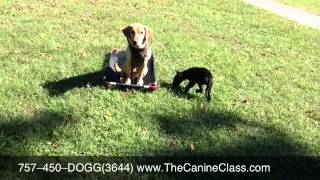 The Canine Class  757-450-3644 Dog Training Southern Virgninia